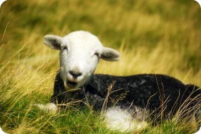 小Herdwich Sheep.JPG