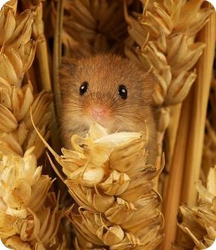 新haevest mouse amongest corn.jpg